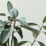 Een olijfboom in je tuin of op je balkon